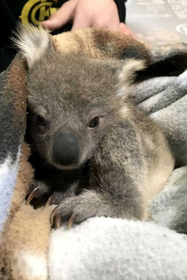 Golden Retriever Who Saved The Life Of A Baby Koala - 4