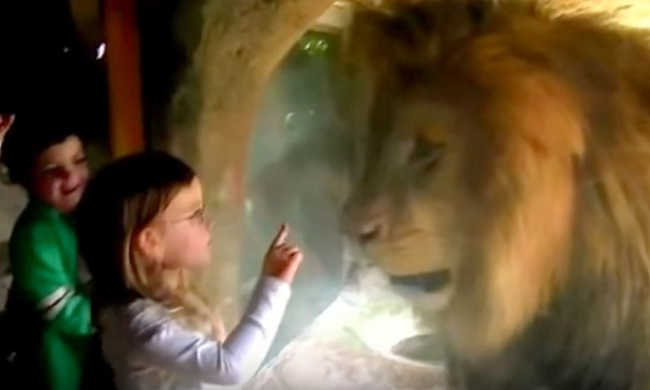 Lion Reacts In Fury When A Little Girl Kiss The Glass-1