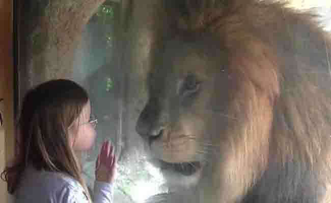 Lion Reacts In Fury When A Little Girl Kiss The Glass-2