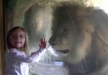 Lion Reacts In Fury When A Little Girl Kiss The Glass