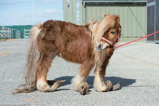 Pony With Overgrown Hooves Rescued by Authorities-1