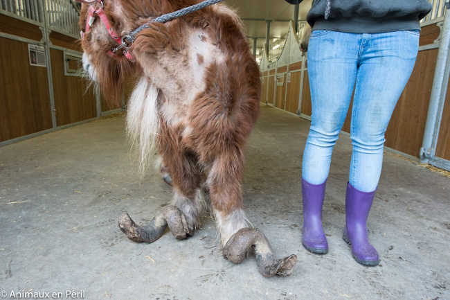 Pony With Overgrown Hooves Rescued by Authorities-5