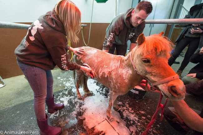 Pony With Overgrown Hooves Rescued by Authorities-9