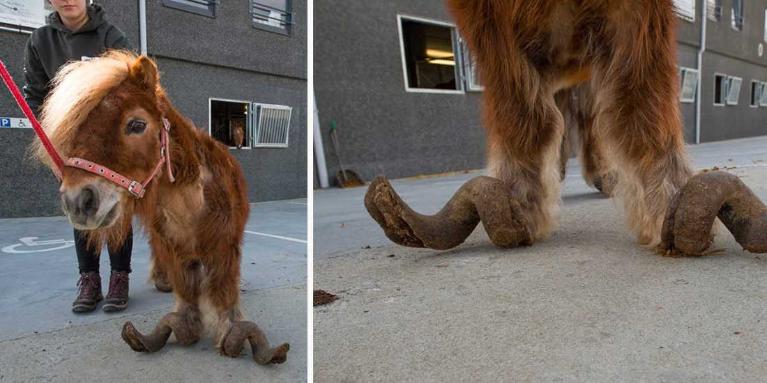Pony With Overgrown Hooves Rescued by Authorities