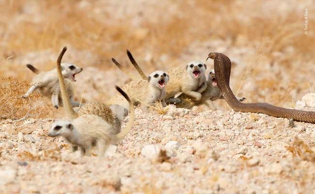 10. The Meerkat Mob