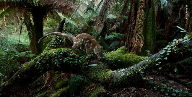23. Home of the quoll