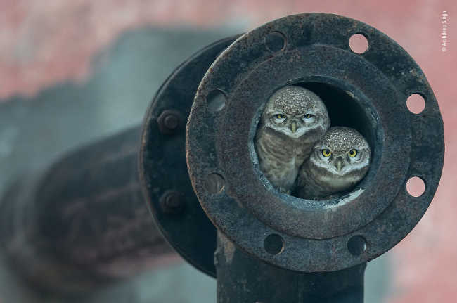 5. Pipe Owls