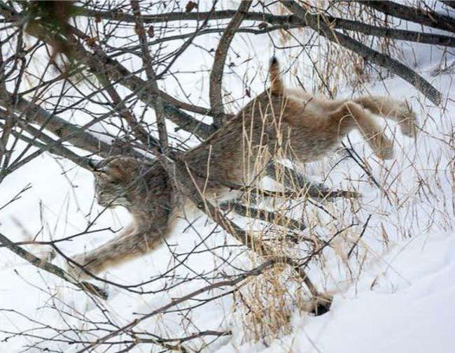 Lynx Family Playing On His Porch - 11