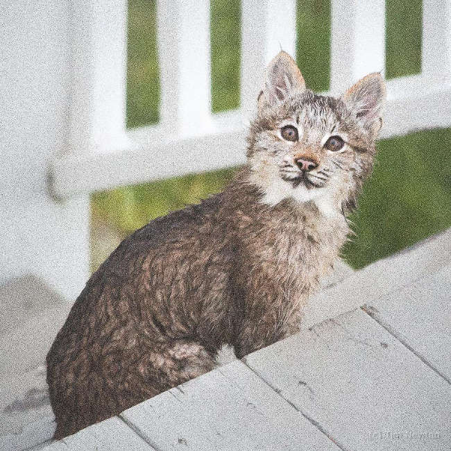 Lynx Family Playing On His Porch - 13