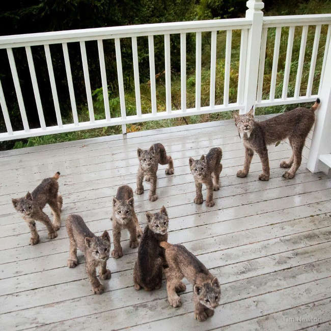 Lynx Family Playing On His Porch - 14