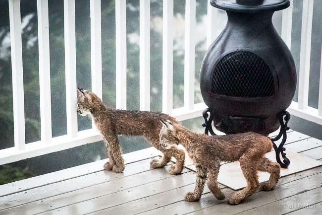 Lynx Family Playing On His Porch - 6