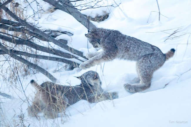 Lynx Family Playing On His Porch - 8