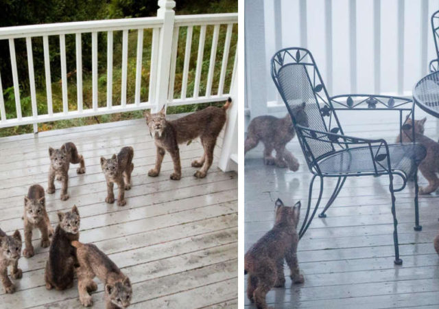 Man From Alaska Wakes Up To Find Lynx Family Playing On His Porch