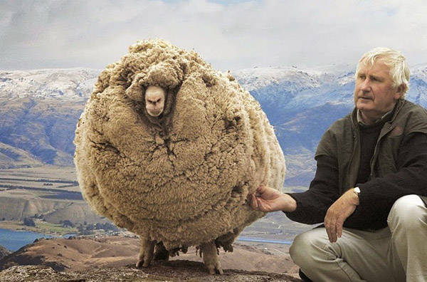 Shrek - The Clever Sheep Avoided Shearing For Six Years By Hiding In A Cave - 1