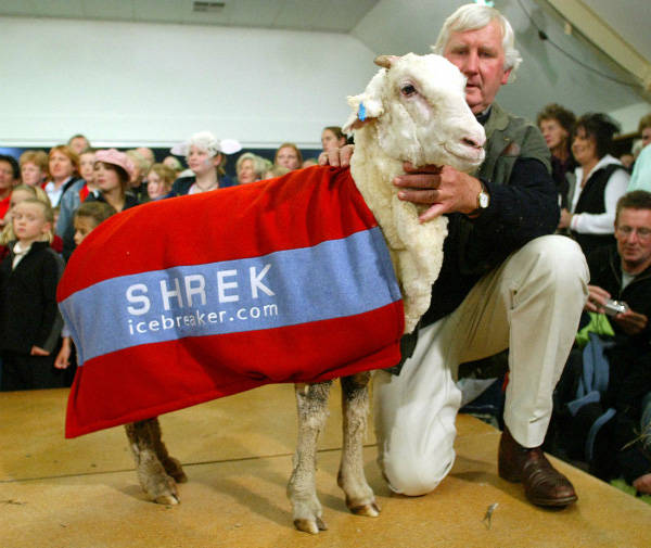 Shrek - The Clever Sheep Avoided Shearing For Six Years By Hiding In A Cave - 4