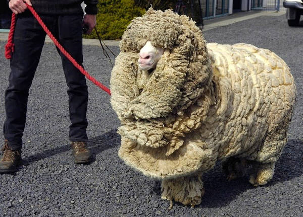 Shrek - The Clever Sheep Avoided Shearing For Six Years By Hiding In A Cave - 5