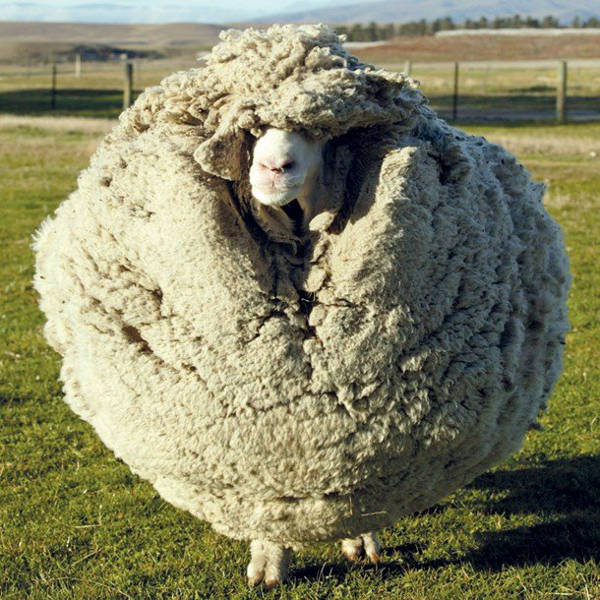 Shrek - The Clever Sheep Avoided Shearing For Six Years By Hiding In A Cave - 6