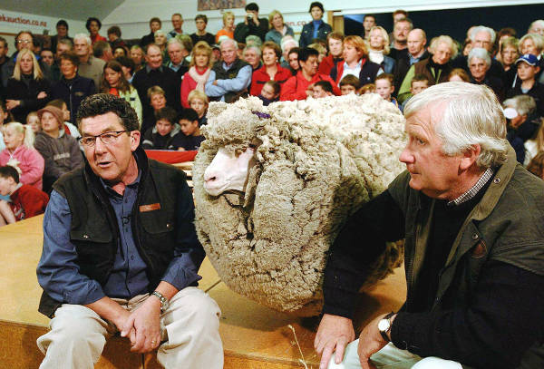 Shrek - The Clever Sheep Avoided Shearing For Six Years By Hiding In A Cave - 7