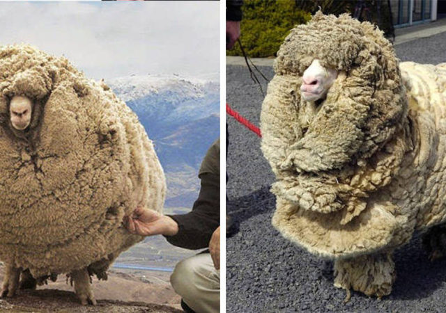 The Clever Sheep Avoided Shearing For Six Years By Hiding In A Cave