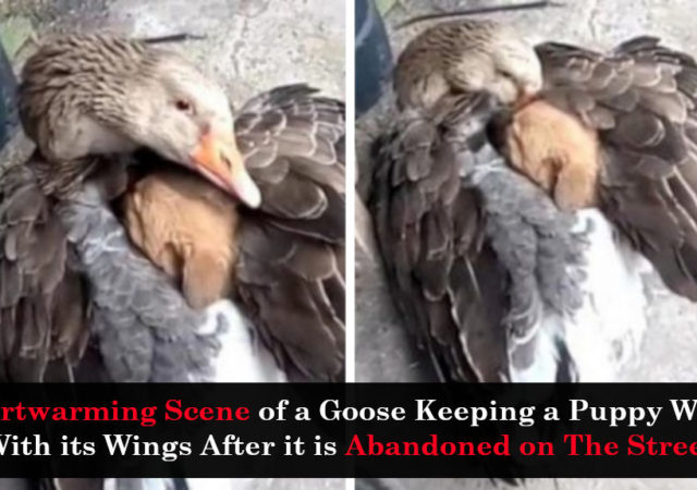 Heartwarming Scene of a Goose Keeping a Puppy Warm With its Wings After it is Abandoned on The Street