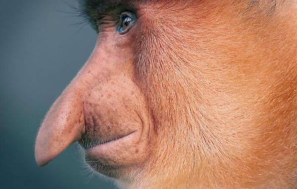 10. Proboscis Monkey