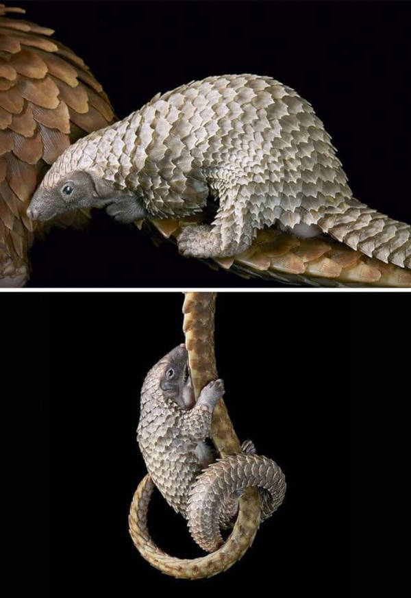 13. White-Bellied Pangolin