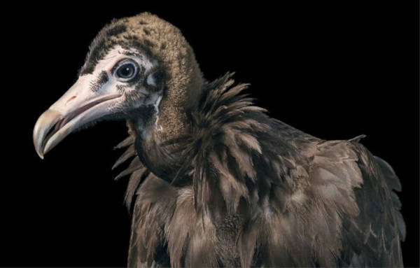 16. Hooded Vulture
