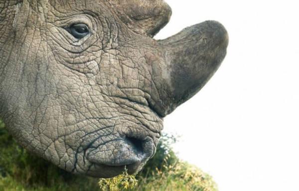 17. Northern White Rhinoceros