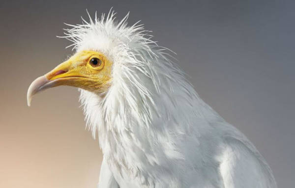 18. Egyptian Vulture
