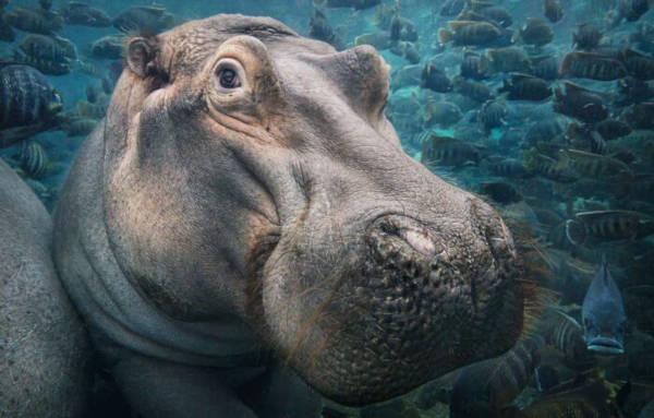 20. Hippopotamus