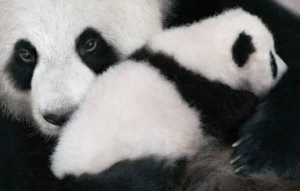 21. Giant Panda