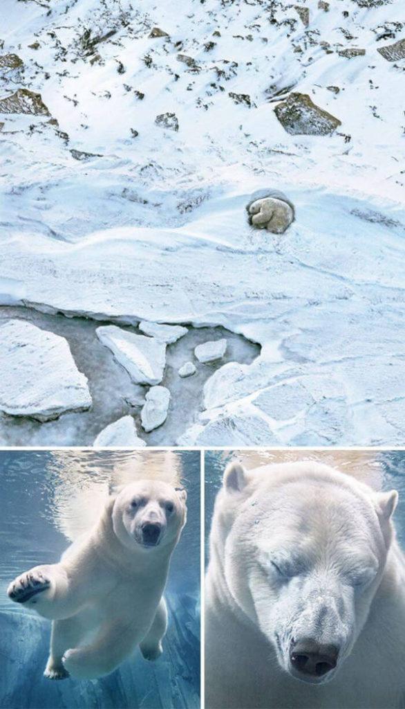 24. Polar Bear