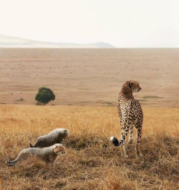 26. Cheetah