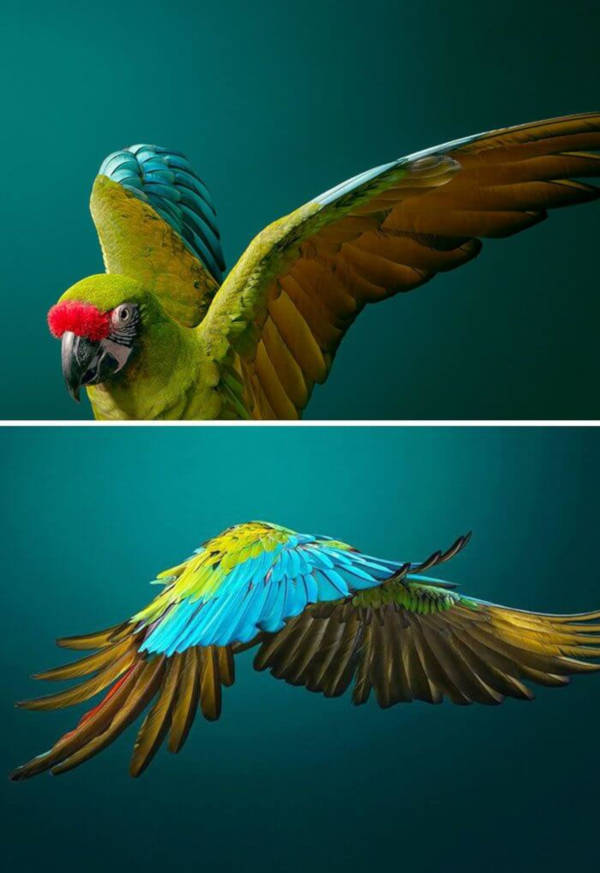 29. Military Macaw