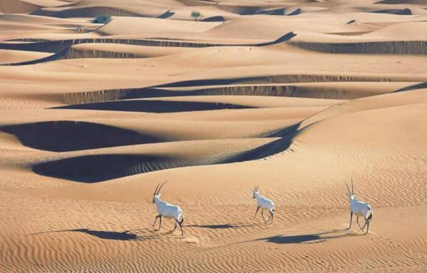 30. Arabian Oryx