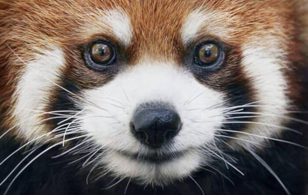 4. Red Panda
