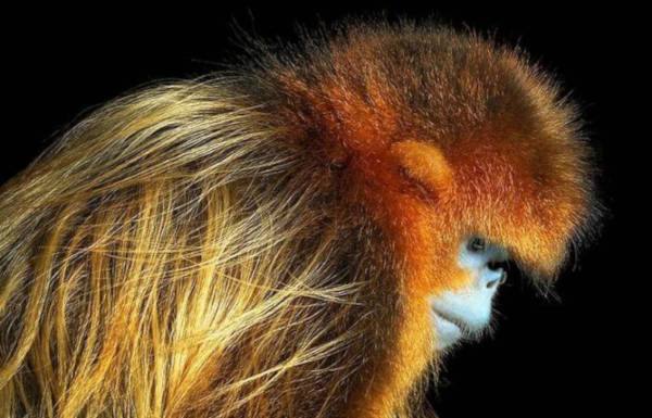 7. Golden Snub-Nosed Monkey