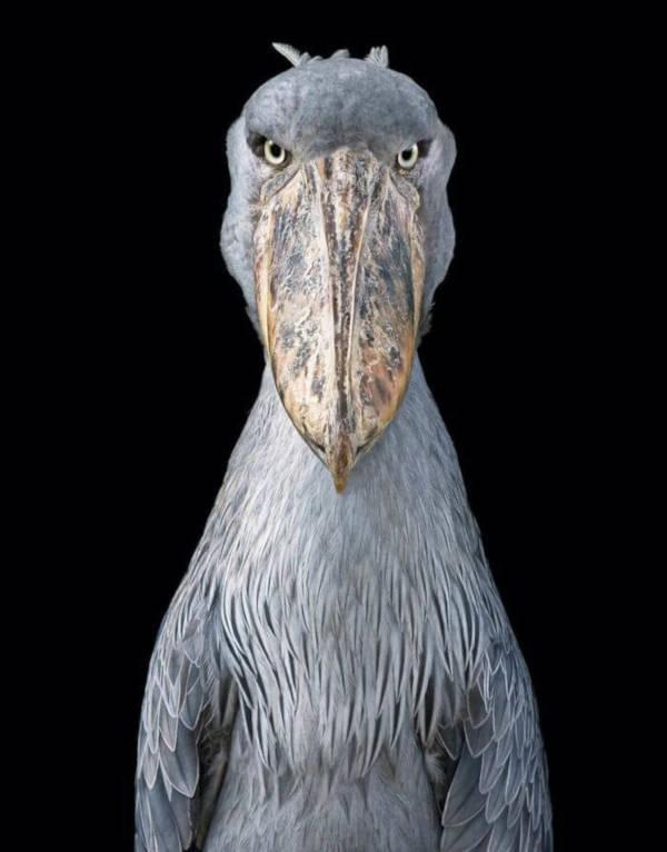 8. Shoebill