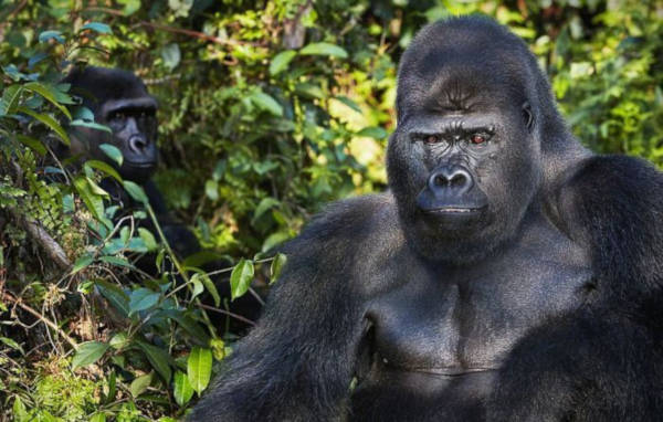 9. Western Lowland Gorillas