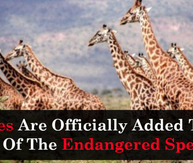 Giraffes Are Officially Added To The List Of The Endangered Species