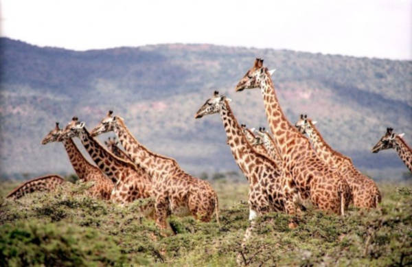 Giraffes Endagered Species