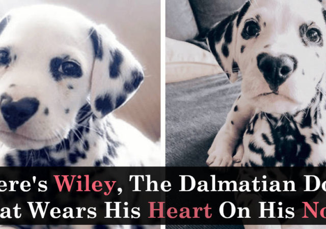 Here's Wiley The Dalmatian Dog That Wears His Heart On His Nose