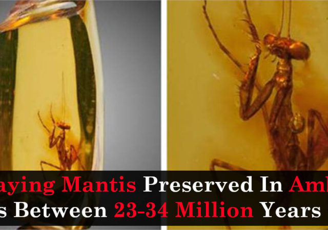 Praying Mantis Preserved In Amber Was Between 23-34 Million Years Old