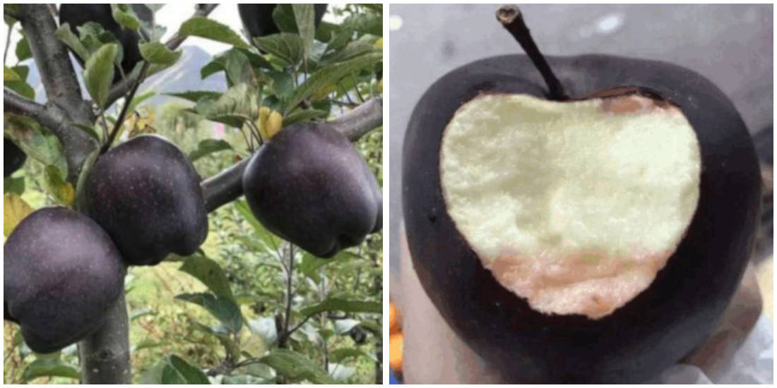 Rare Black Apples Sell For More Than $20 Each But Farmers Refuse To Plant Them