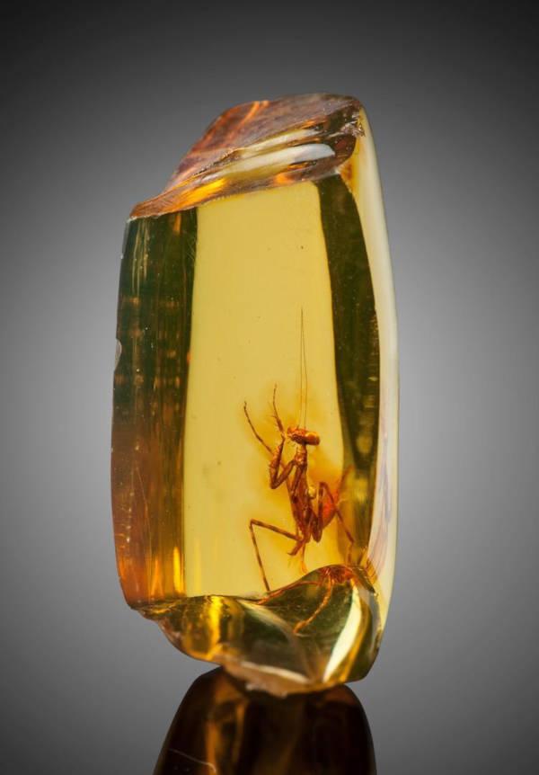 praying-mantis-amber-1