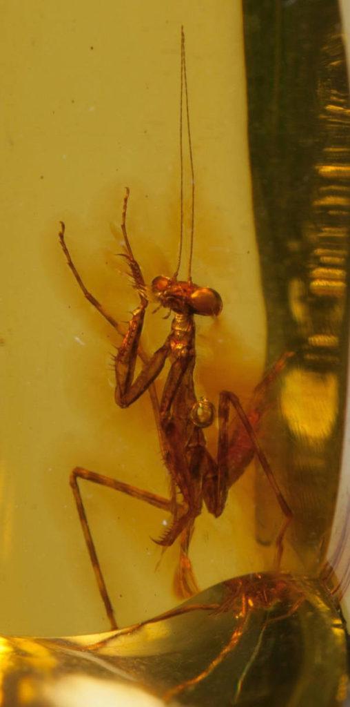 praying-mantis-amber-2