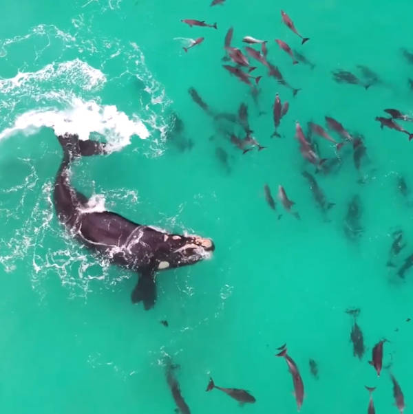 For example, another video circulating on the internet showed a huge whale playing with a pod of dolphins off the coast of Western Australia - 1