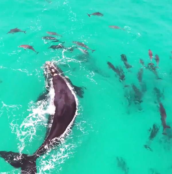 For example, another video circulating on the internet showed a huge whale playing with a pod of dolphins off the coast of Western Australia
