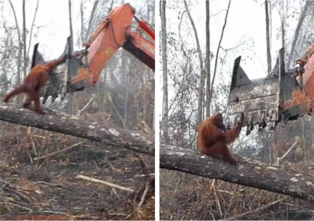 Video Orangutan Excavator