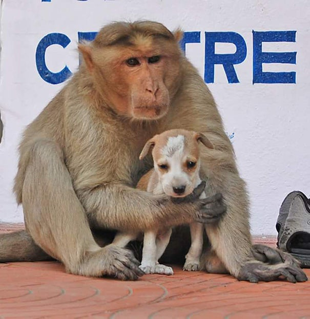 A Monkey Adopts A Puppy, Defends It From Stray Dogs And Acts Like Its Natural Parent - 3